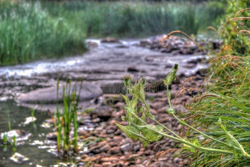 Spiderweb no espinho na perspectiva de um rio pequeno com as pedras ao longo dos bancos e da grama ao redor fotografia de stock royalty free