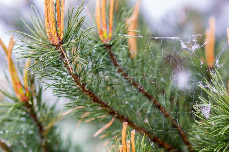Spiderweb op pijnboom stock foto