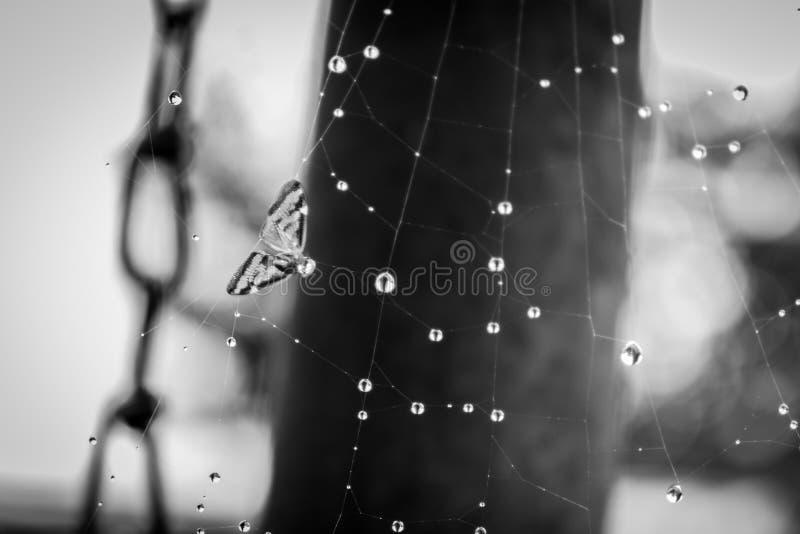 Spiderweb-Opfer stockfotos
