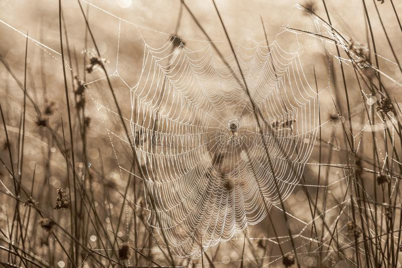 Spiderweb on a dewy meadow in early autumn morning royalty free stock image