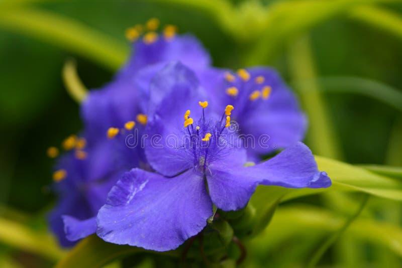 spiderwort arkivfoto