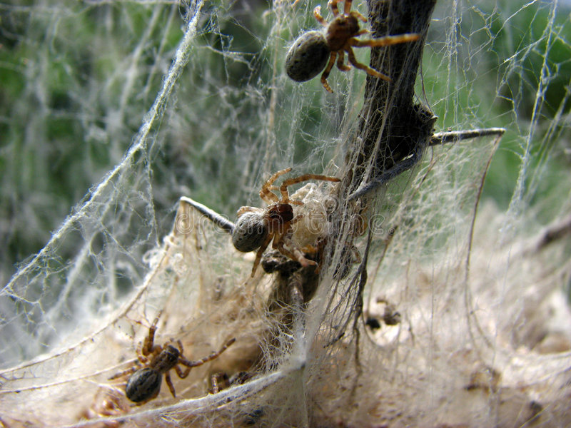 Spidey Factory. Spider together constructing webs to catch their preys royalty free stock image
