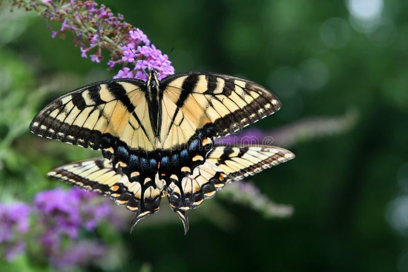 Spiegelbeeld: paar van vrouwelijk Tiger Swallowtail-vlindersvoer samen stock foto