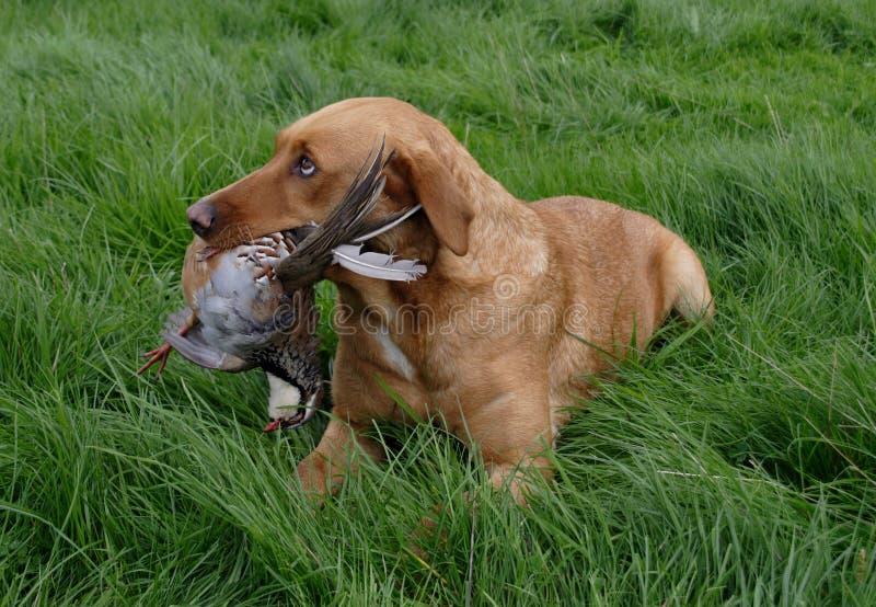 Spieleintragfadenhund mit Rebhuhn lizenzfreie stockbilder