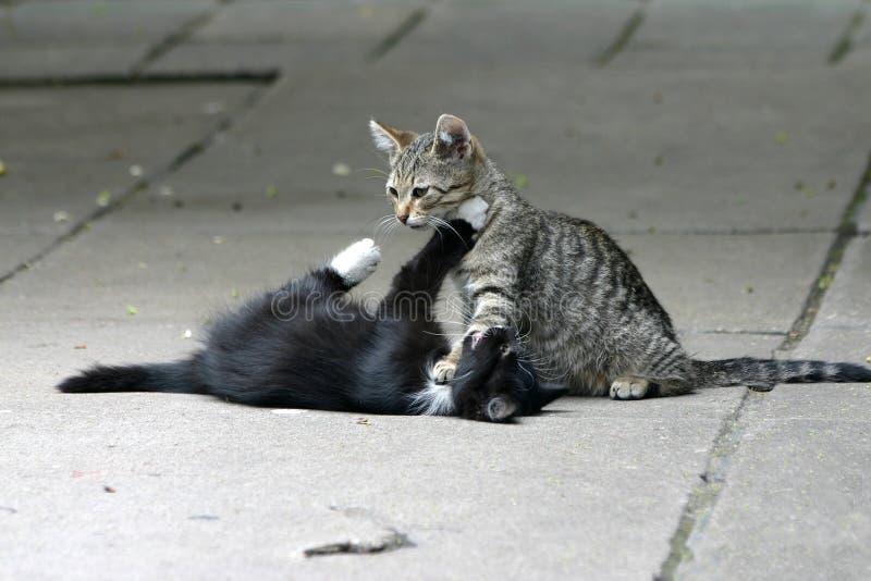 Spielen der Katzen stockfoto