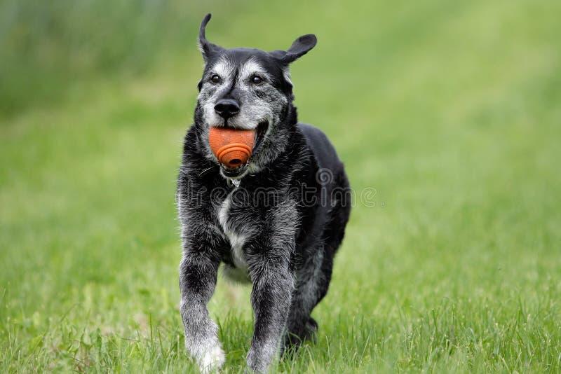 Spielen des alten Hundes stockfoto