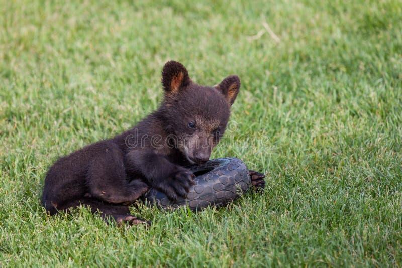 Spielen des Baby-schwarzen Bären stockbild