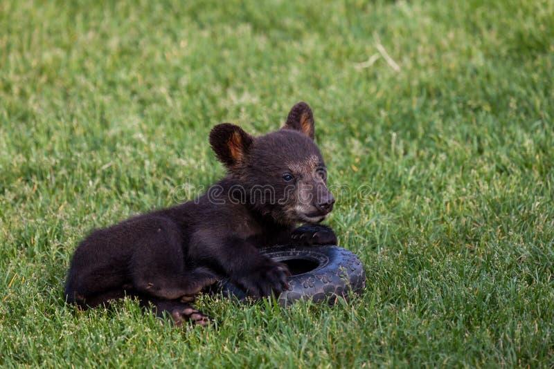 Spielen des Baby-schwarzen Bären lizenzfreie stockfotografie