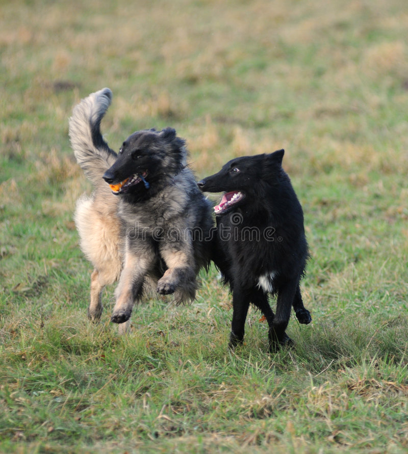 Spielen des belgischen Schäferhunds lizenzfreies stockbild