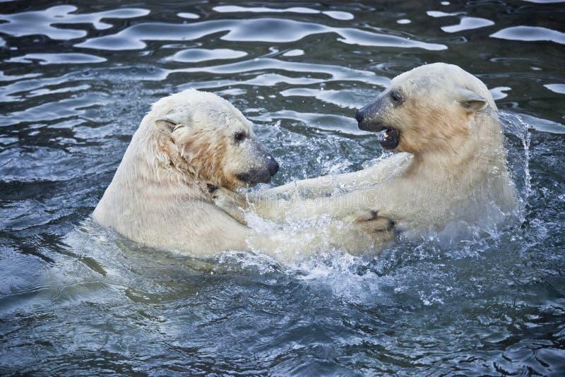 Spielen mit zwei Eisbären lizenzfreie stockfotos