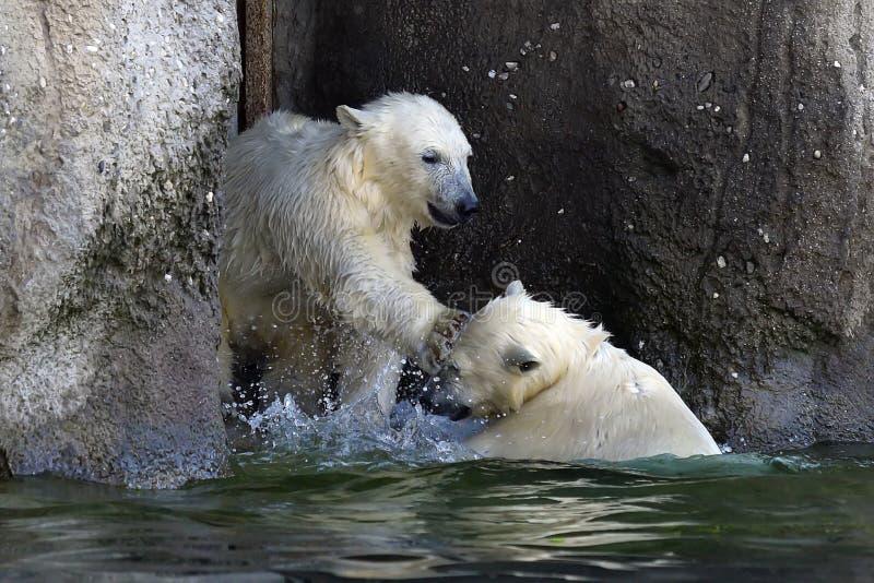Spielen mit zwei junges Eisbären lizenzfreie stockfotos