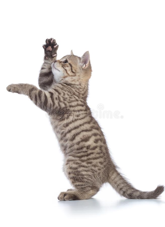 Spielerische Katze, die auf Hinterbeinen steht und vorwärts schaut Getrennt auf weißem Hintergrund lizenzfreies stockfoto