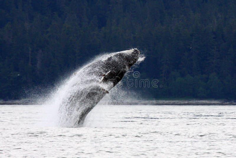 Spielerischer alaskischer Buckel-Wal lizenzfreie stockfotos