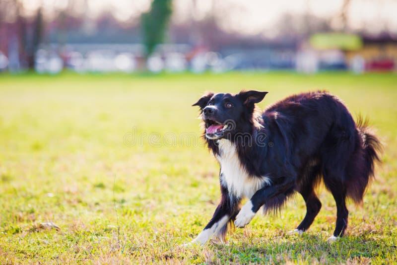 Spielerischer border collie-Schäferhundelustiger Gesichtsausdruck, der draußen im Stadtpark spielt Entzückender aufmerksamer Welp lizenzfreies stockbild