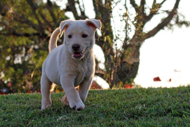 Spielerischer Labrador retriever-Welpe lizenzfreie stockbilder