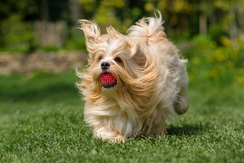 Spielerischer orange havanese Hund läuft mit einem Ball im Gras lizenzfreie stockfotografie