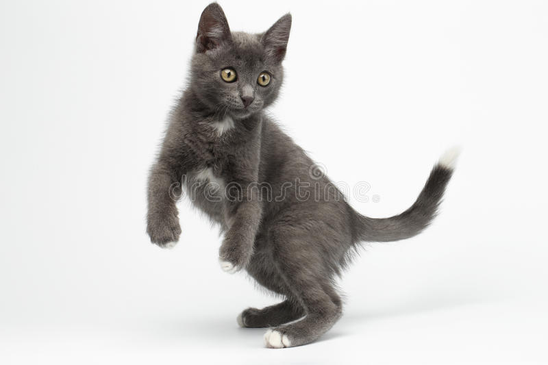 Spielerischer SprungGray Kitty auf Weiß stockfotografie