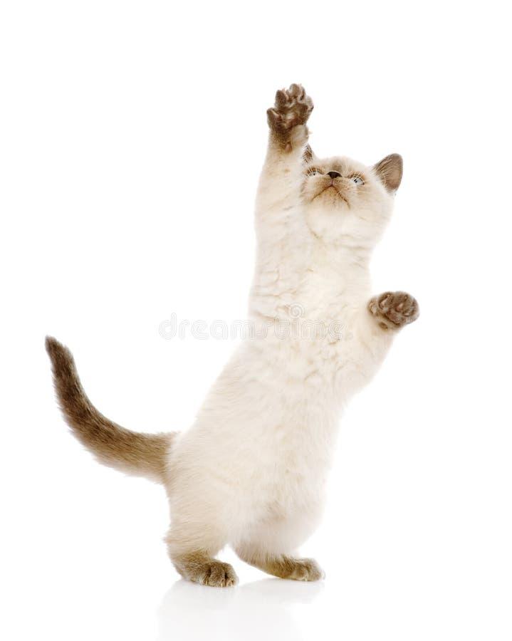 Spielerisches Britisch Kurzhaar-Kätzchen mit der angehobenen Tatze Lokalisiert auf wh stockfotografie