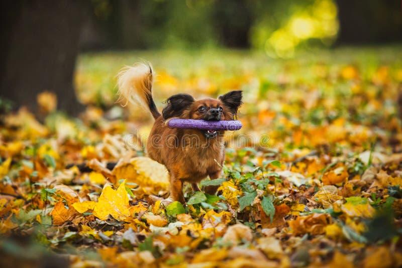 Spielzeugterrierhund im Herbst auf der Natur stockfotos