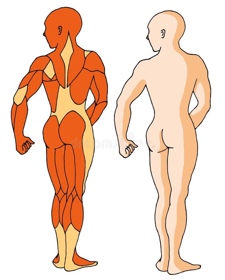 Spieren 01 vector illustratie