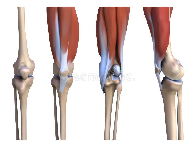 Spieren en beenderen de benen vector illustratie