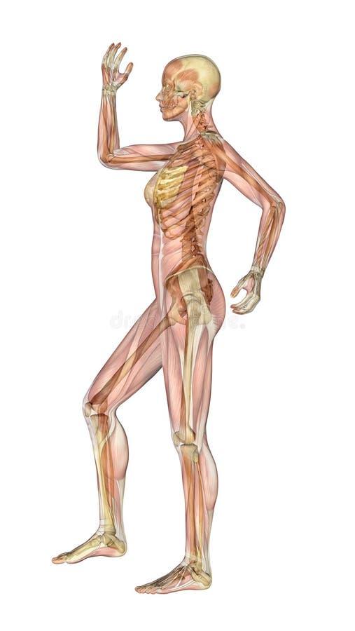 Spieren en Skelet - Wijfje met de Neiging van Lidmaten stock illustratie