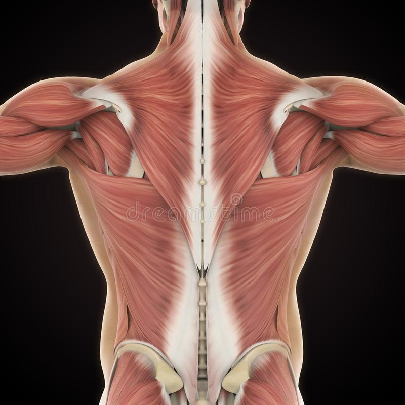 Spieren van de Achteranatomie royalty-vrije illustratie