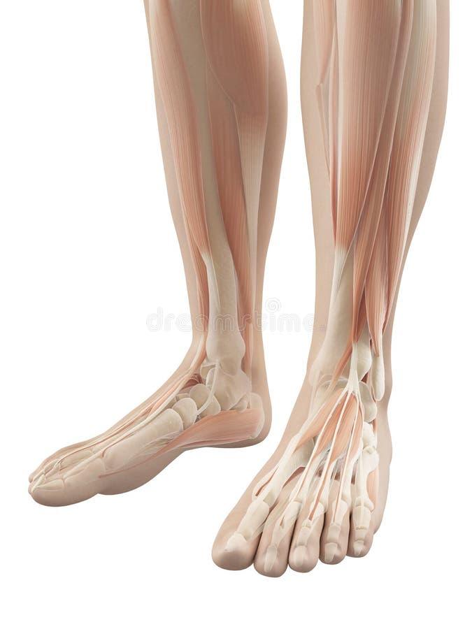 Spieren van de voeten stock illustratie