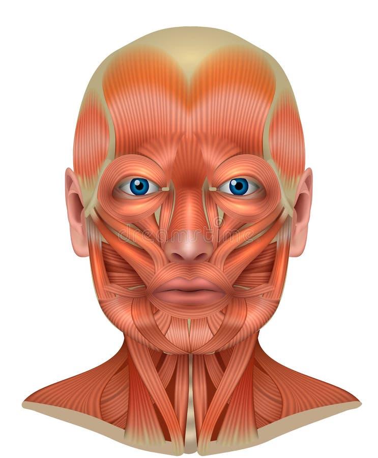 Spieren van het gezicht en de hals vector illustratie