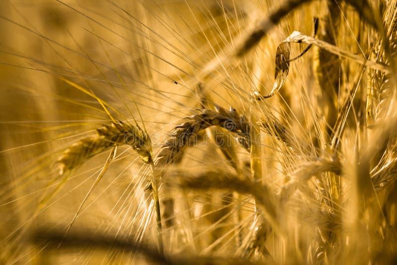 Spighe del granoturco fotografie stock libere da diritti