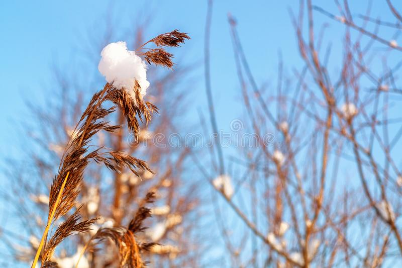 Spighetta di erba con un grumo di neve ed i rami dei cespugli contro il cielo blu fotografia stock
