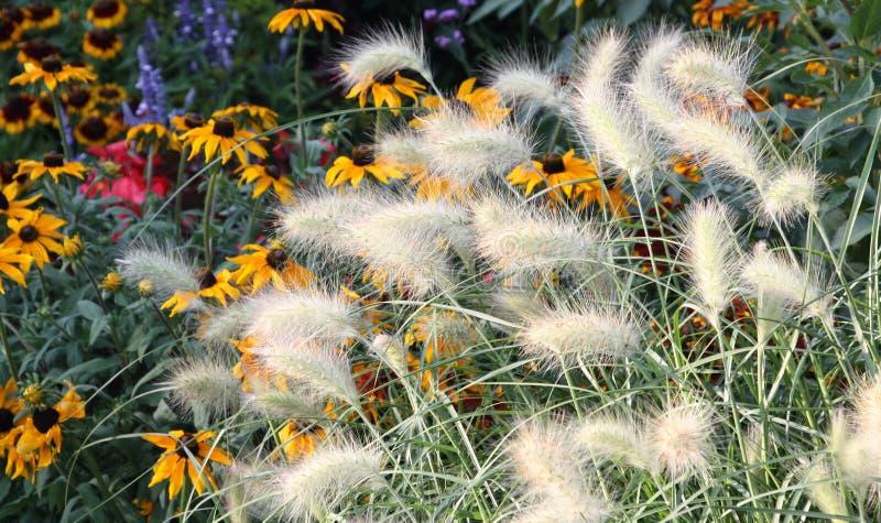 Spighette asciutte bianche sui precedenti dei fiori gialli fotografia stock