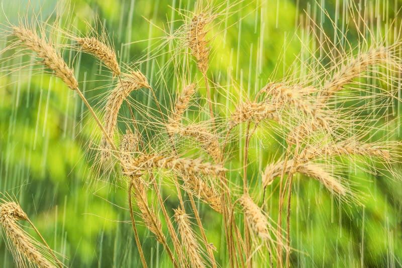 Spighette della pioggia e del grano di estate immagini stock