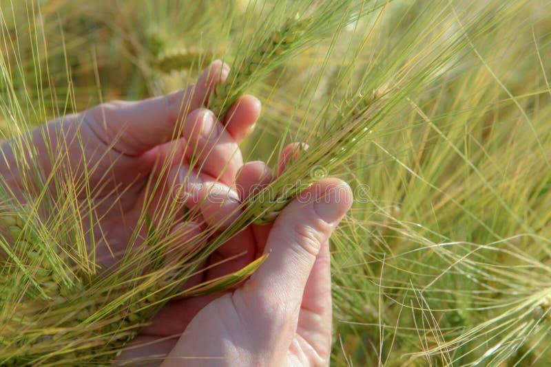 Spighette di grano a disposizione, su un chiaro campo immagini stock