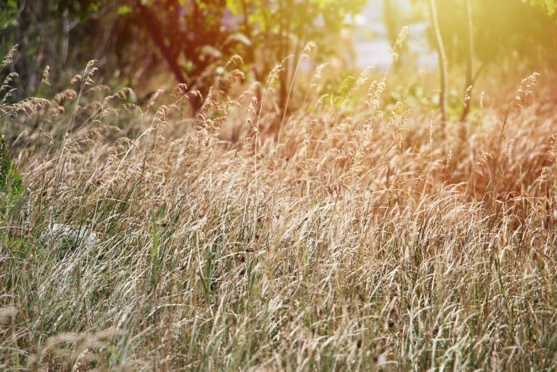 Spighette sul campo di grano fotografia stock