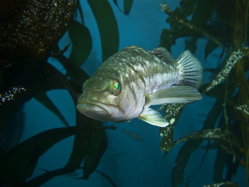 Spigola del kelp fotografia stock libera da diritti