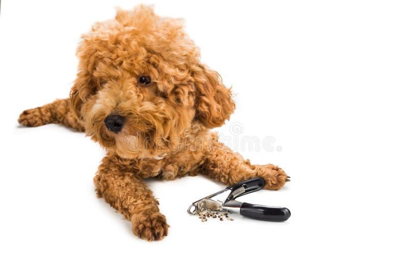Spijkers tijdens het gromming met clipper en hond als achtergrond worden geknipt die stock fotografie