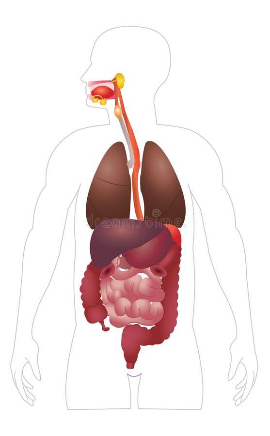 Spijsverterings systeem vector illustratie