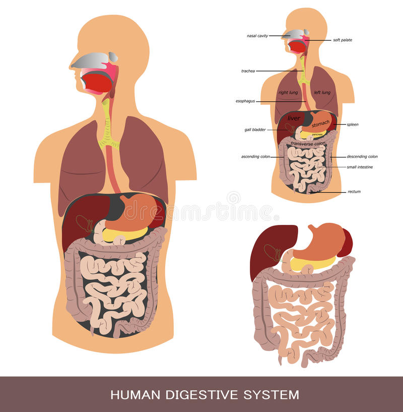 Spijsverterings systeem stock illustratie