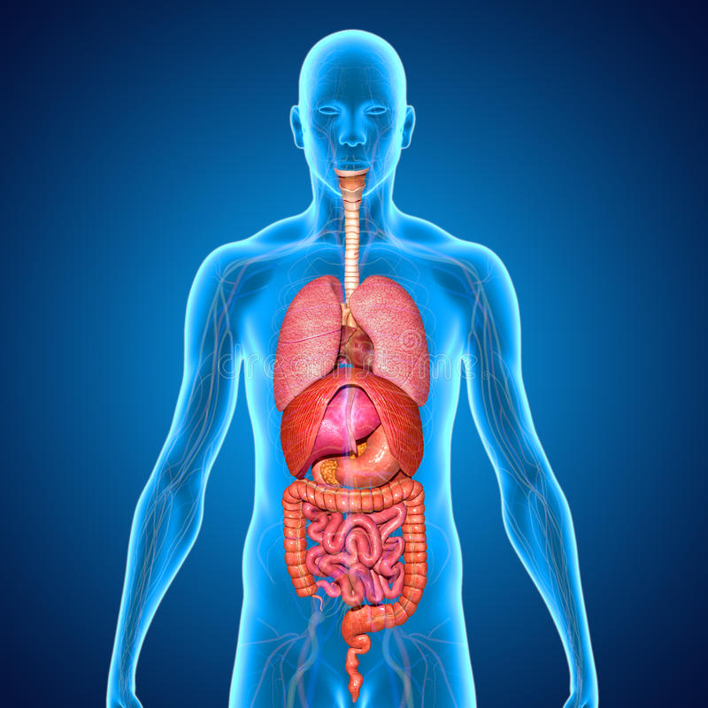 Spijsverteringssysteem vector illustratie