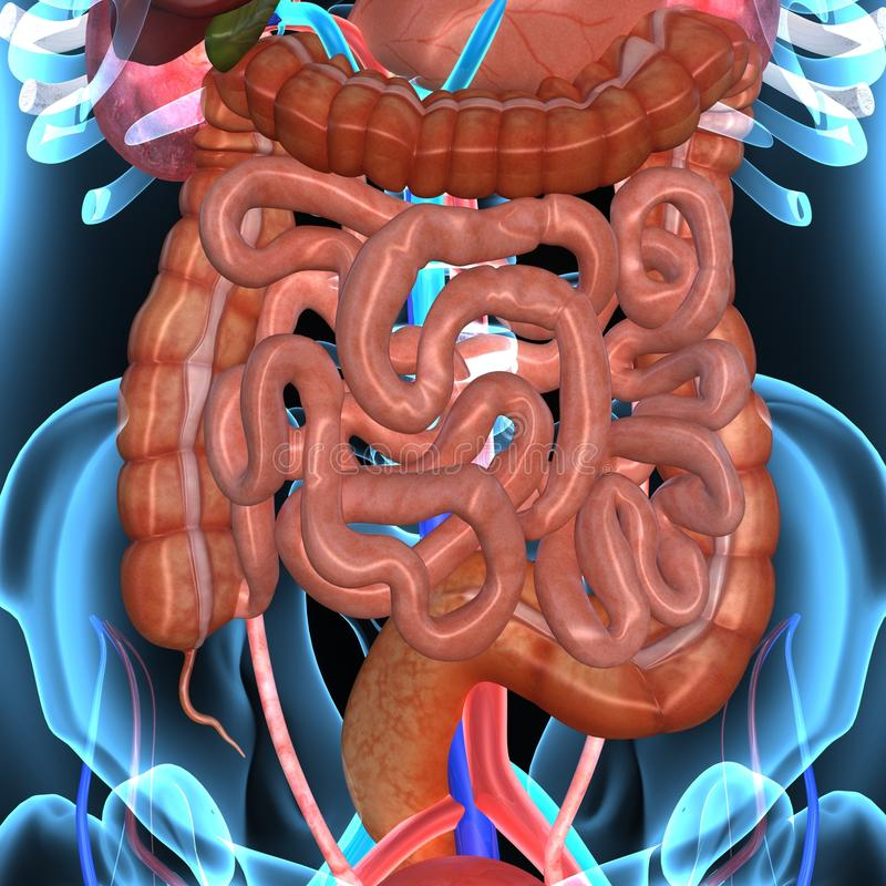 Spijsverteringssysteem stock illustratie