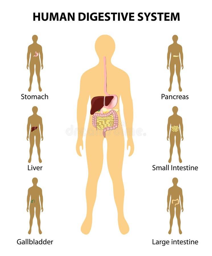 Spijsverteringssysteem organen op het silhouet van een huma worden benadrukt die royalty-vrije illustratie