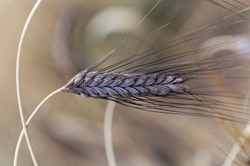 Spike of black emmer wheat Triticum dicoccon var. atratum royalty free stock images