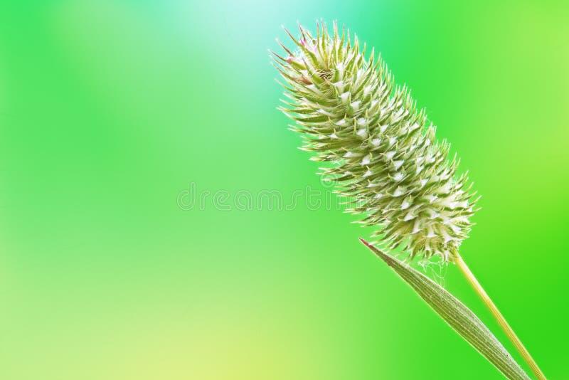 Download Spike cereal stock image. Image of kernel, farmer, harvest - 32084431