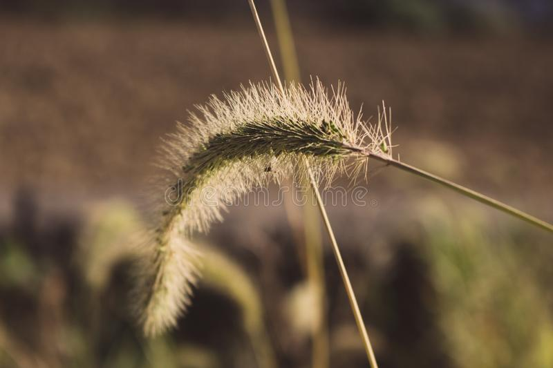 Spike closeup. Grass in the field macro. Meadow background. Spikelets in sunlight. Nature close up. royalty free stock photo