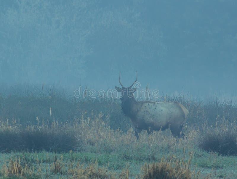 Spike Elk i Trinidad California på en dimmig morgon royaltyfri bild