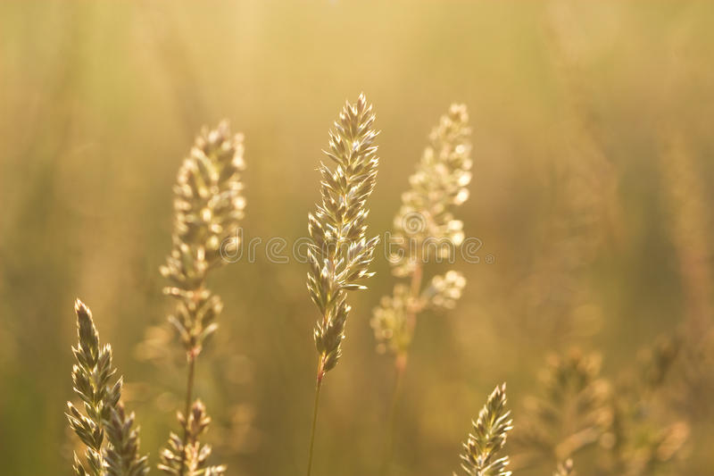 Spike grass steppe in saturated sunlight. Spike grass steppe in saturated sunset sunlight stock images