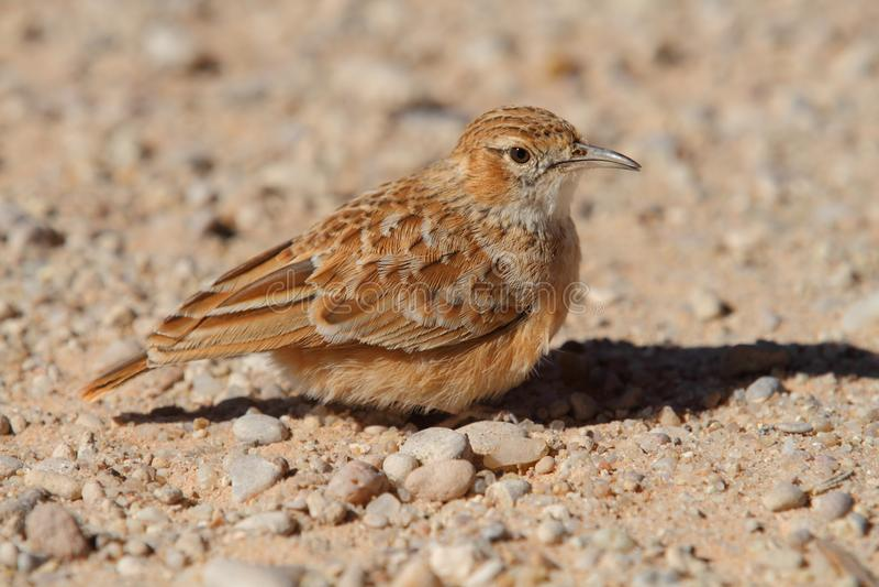 Download Spike-Heeled Lark stock image. Image of african, desert - 14839551