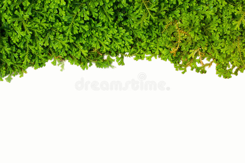 Spike Moss. Close up shot texture of Spike Moss on the isolate background royalty free stock images