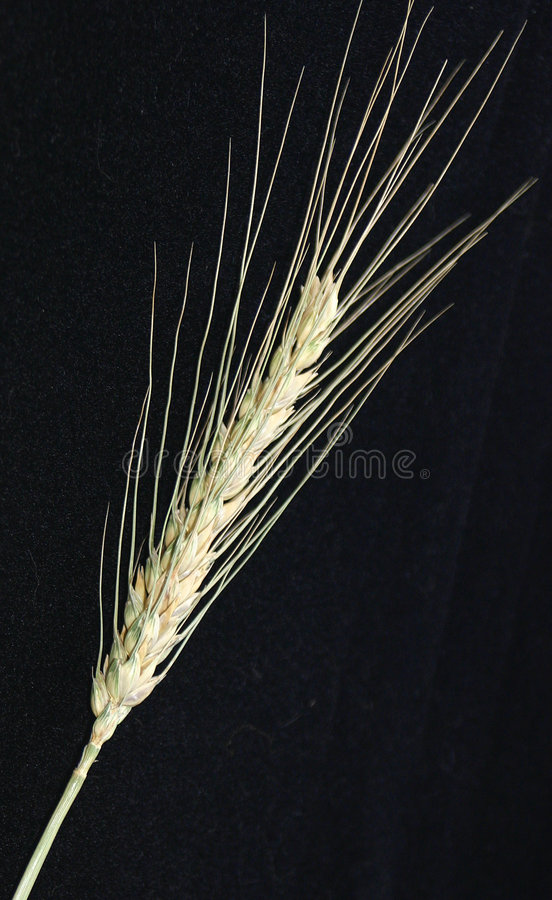 A spike of wheat stock images